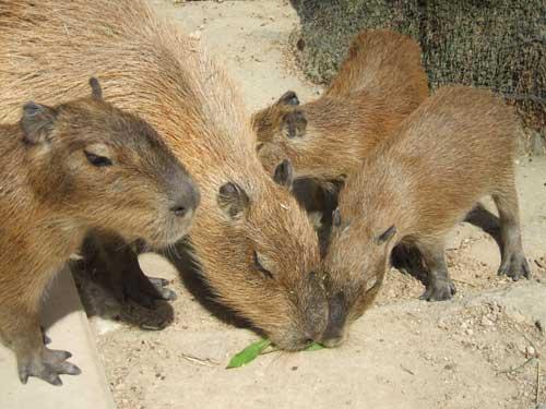 kapibara.jpg