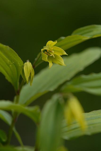 黄花ホウチャクソウ1
