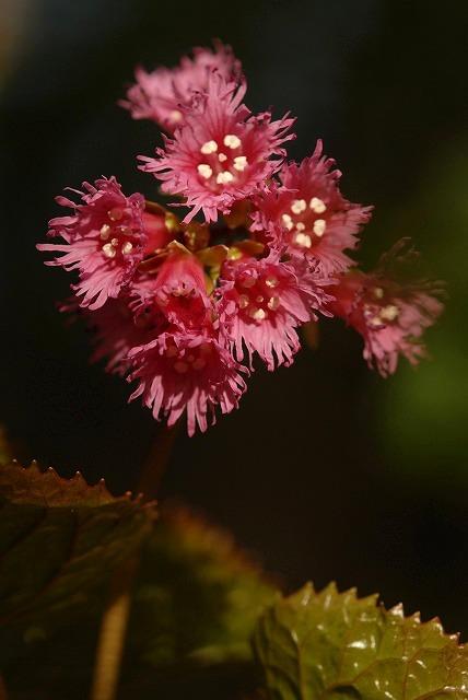 濃いピンクのイワカガミ1