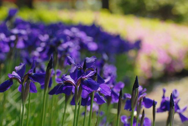 紫あやめ1