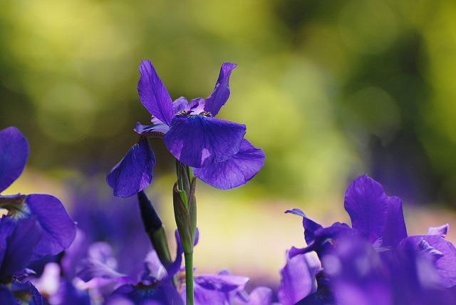 紫あやめ2