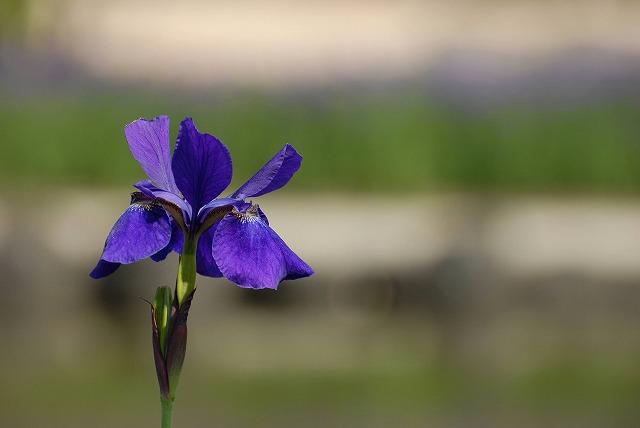 紫あやめ3