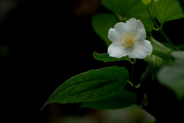 梅花ウツギ1