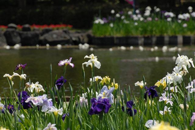 あやめ池公園の花菖蒲9
