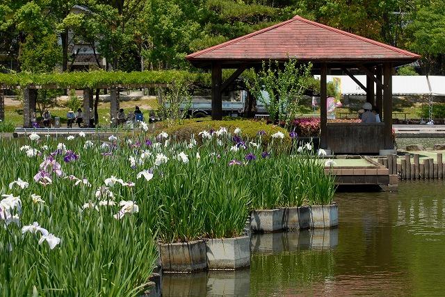 あやめ池公園の花菖蒲10