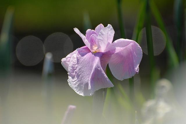 あやめ池公園の花菖蒲15