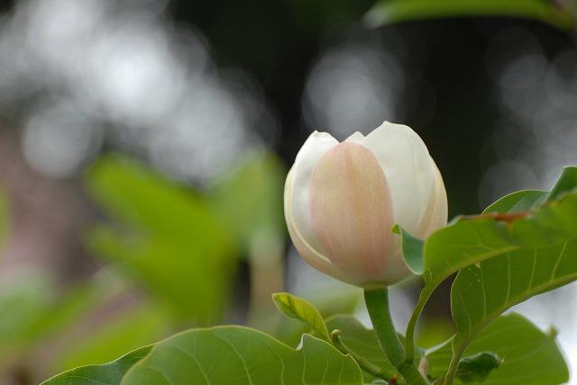 オオヤマレンゲ8