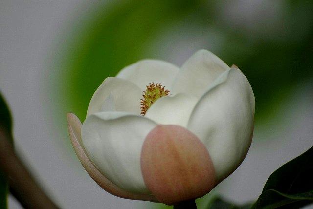 オオヤマレンゲ9