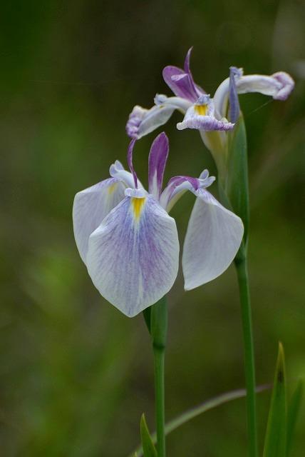 白い 野花菖蒲1