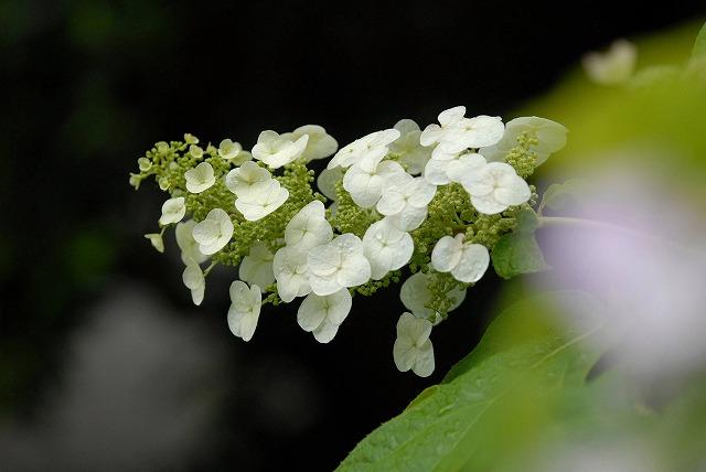 安養寺の紫陽花4
