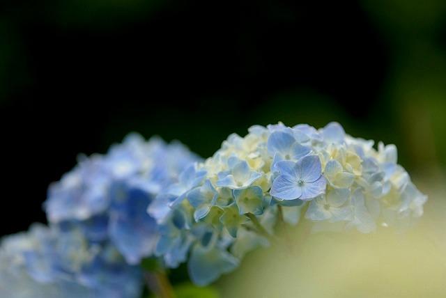 安養寺の紫陽花8