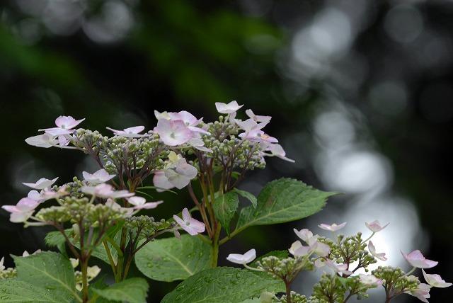 安養寺の紫陽花10