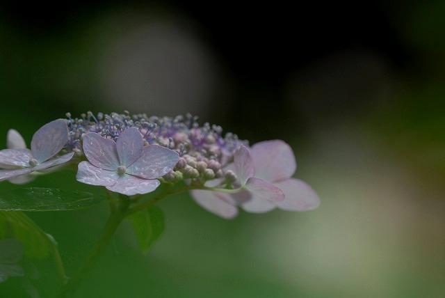 安養寺の紫陽花14