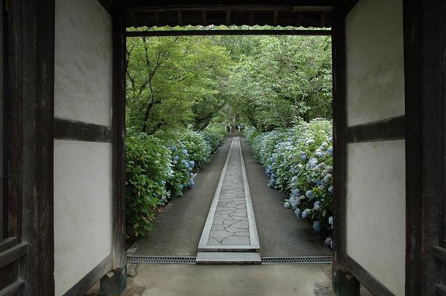 長法寺の紫陽花1