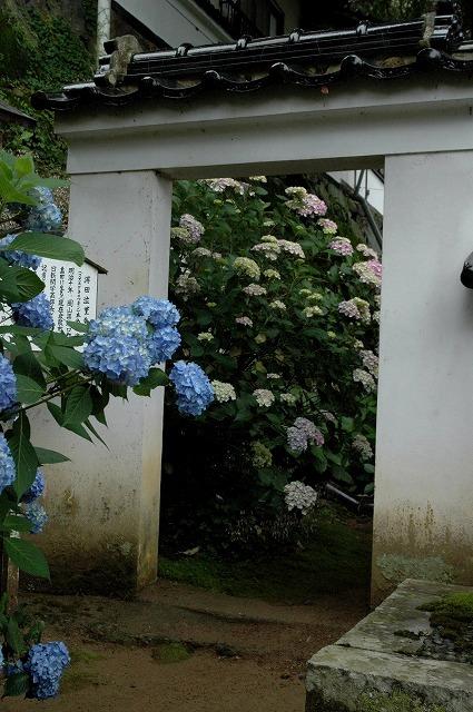 長法寺の紫陽花4