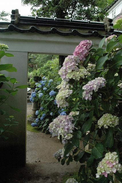 長法寺の紫陽花5
