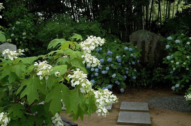 長法寺の紫陽花11