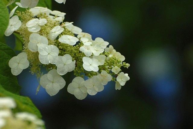 長法寺の紫陽花12