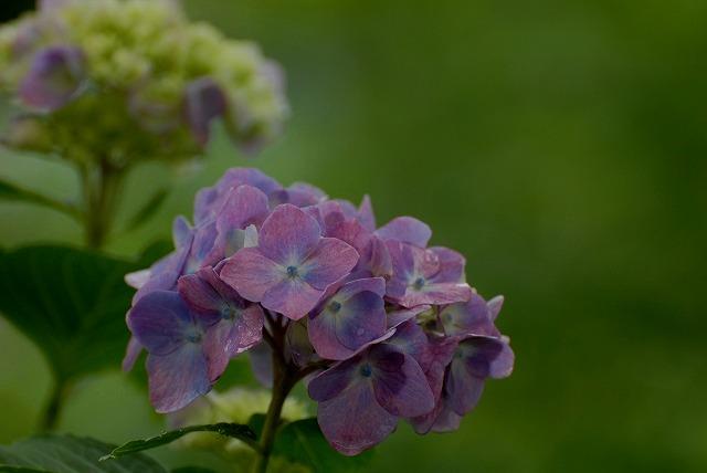 長法寺の紫陽花13