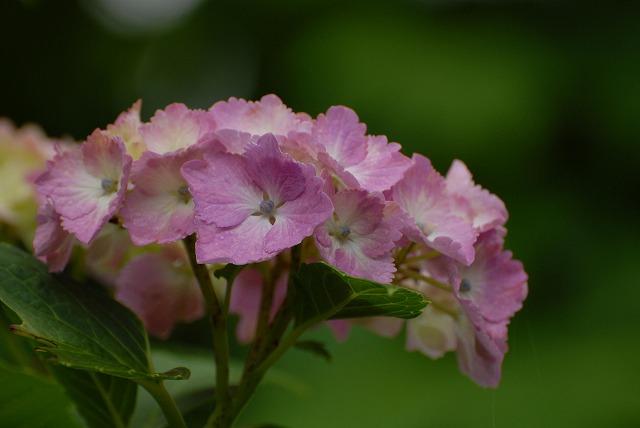 長法寺の紫陽花14