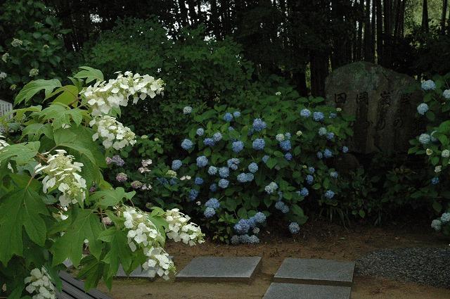 長法寺の紫陽花16
