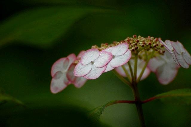 長法寺の紫陽花18