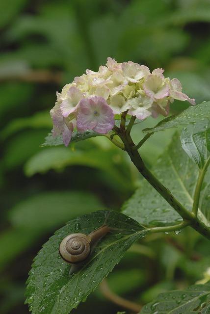 長法寺の紫陽花19