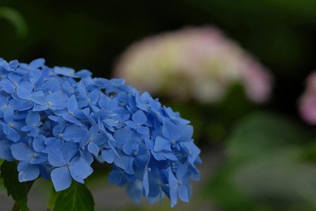 長法寺の紫陽花20