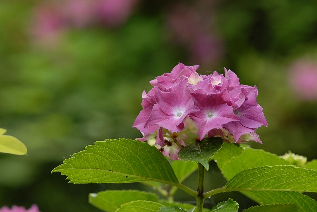 長法寺の紫陽花21