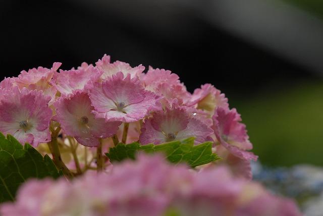 長法寺の紫陽花23
