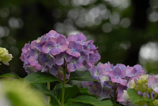 長法寺の紫陽花24