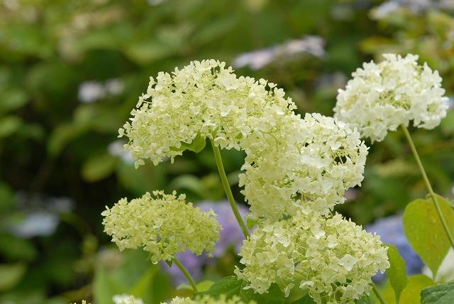 長法寺の紫陽花25