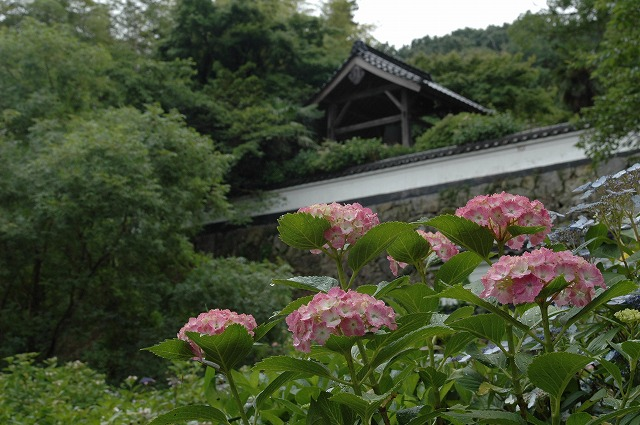 長法寺の紫陽花27