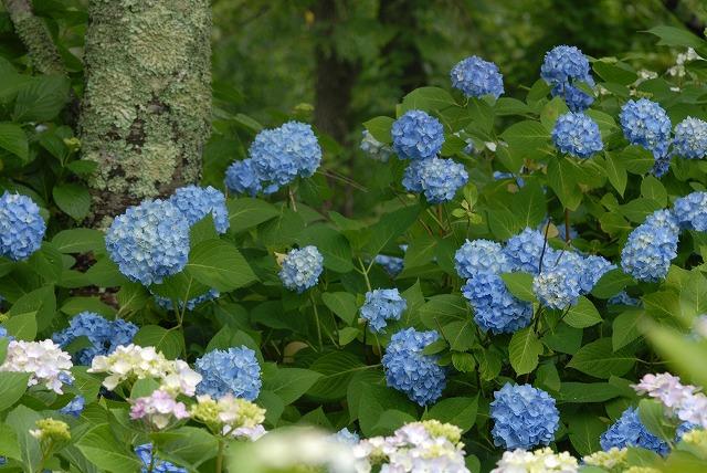 長法寺の紫陽花29