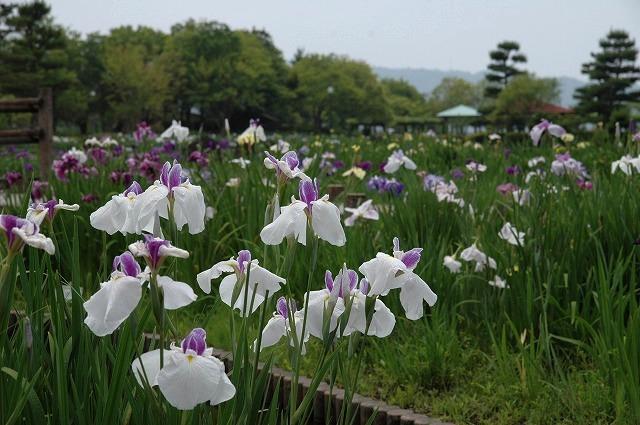 あやめ池の花菖蒲1