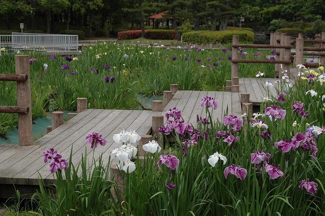 あやめ池の花菖蒲2