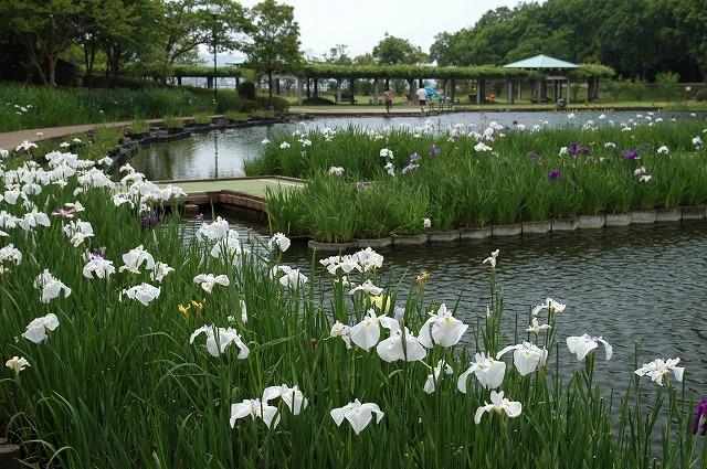 あやめ池の花菖蒲3