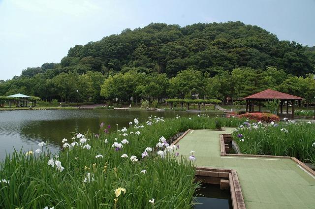 あやめ池の花菖蒲4