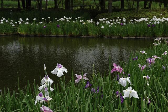 あやめ池の花菖蒲5