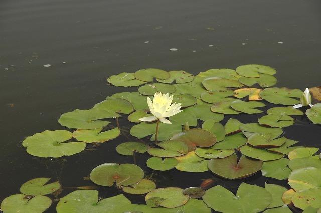 あやめ池の花菖蒲6