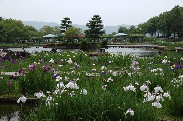 あやめ池の花菖蒲7