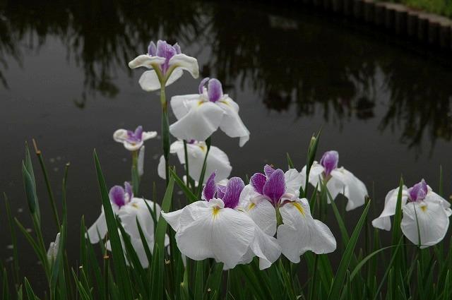 あやめ池の花菖蒲8