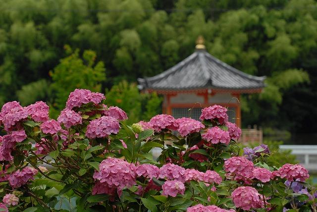 安養寺の紫陽花1
