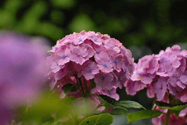 安養寺の紫陽花2