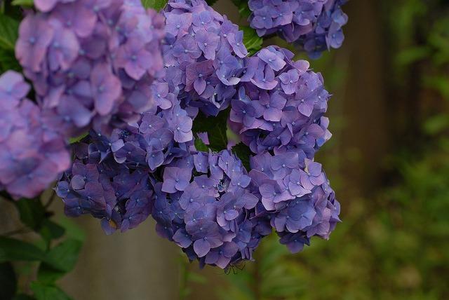 安養寺の紫陽花3