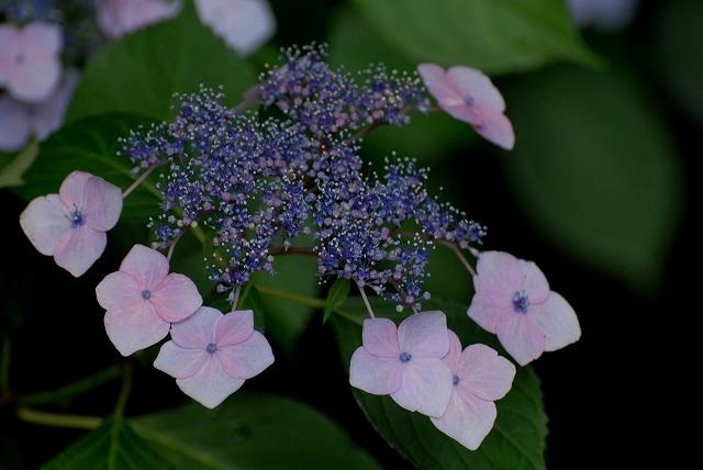安養寺の紫陽花6