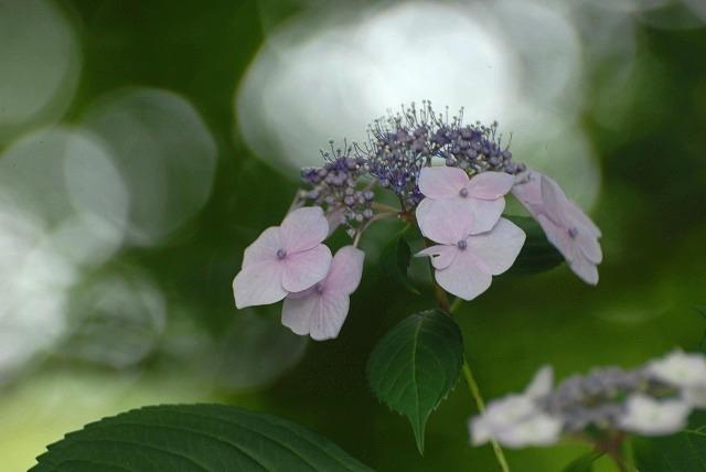 安養寺の紫陽花7