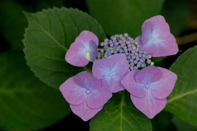 安養寺の紫陽花9