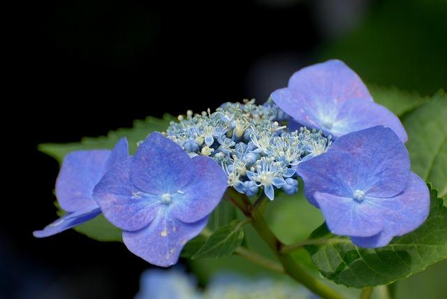 安養寺の紫陽花11