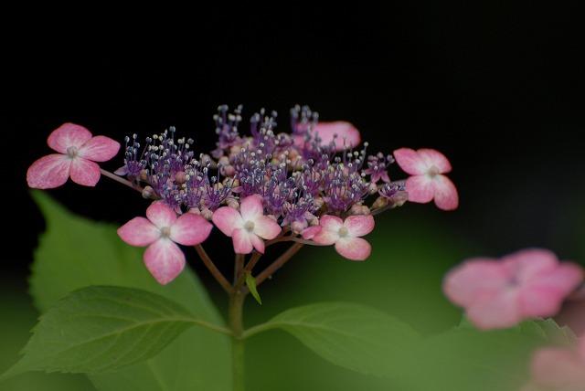 安養寺の紫陽花12